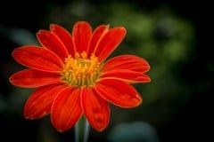 target900_0_ tło kwiat sia słonecznika obraz stock
