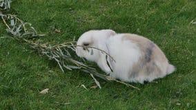 target438_1_ trawy królika biel zdjęcie wideo