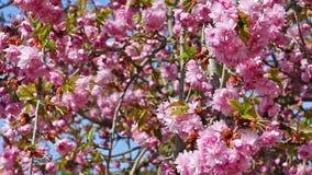 target2192_0_ wizerunek rasterized Sakura drzewo zbiory