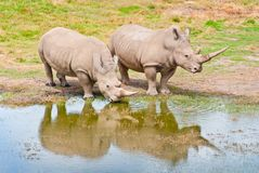 target1007_0_ jeziorni rhinozeros dwa Fotografia Royalty Free