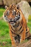 target1361_0_ tygrys Zdjęcie Royalty Free