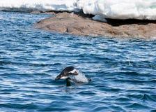 target1537_0_ woda pingwin wodę Zdjęcia Stock
