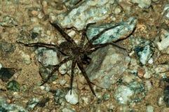 target1597_1_ jego zdobycza pająka wilka Obrazy Royalty Free