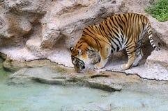 target1614_0_ stawowy tygrys Zdjęcia Royalty Free