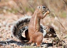 target1703_1_ trawy zmielone ziaren wiewiórki dwa Zdjęcie Stock