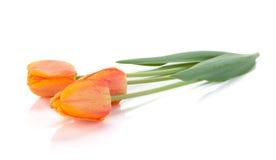 target1892_1_ trzy tulipanu Fotografia Stock