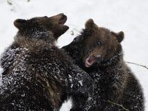 target1940_1_ ursus arctos niedźwiedzie fotografia stock