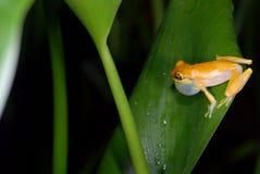 target2185_0_ costa żaby rica drzewa kolor żółty Zdjęcia Stock