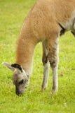 target228_1_ trawy lama Zdjęcie Royalty Free