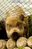 target284_0_ wylotowa świnia Obrazy Royalty Free