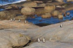 TARGET384_1_ na ląd afrykańscy pingwiny Obraz Royalty Free