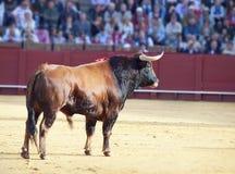 target3859_1_ Spain walczący byk Obraz Stock