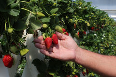 TARGET452_1_ przy gospodarstwem rolnym świeże czerwone truskawki Obraz Royalty Free