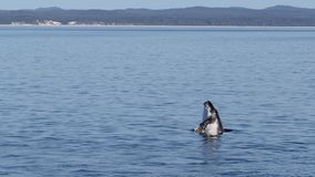 TARGET480_0_ humpback łydkowy Fotografia Stock