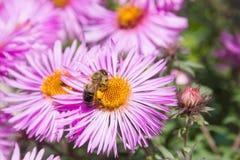 TARGET505_0_ pszczoła kwiat Fotografia Royalty Free