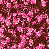 target54_0_ róże Obrazy Royalty Free