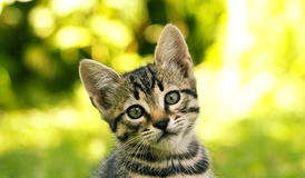 TARGET670_0_ przy kamerę Tabby kot Obrazy Stock