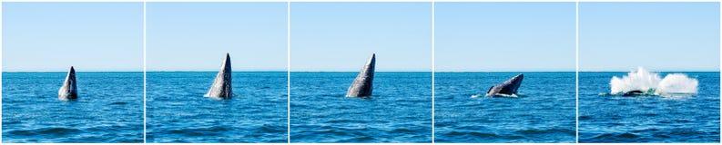 TARGET844_0_ Szarzy wieloryby (Eschrichtius robustus) Obrazy Stock