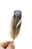 TARGET925_1_ na biel ptasiego piórko Fotografia Stock