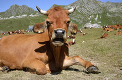 Tarine cow in the French Alps Royalty Free Stock Photography