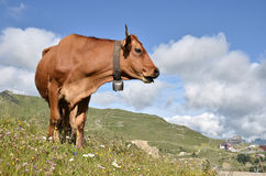 Tarine cow in the French Alps Stock Photos