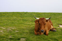 Tarine cow in Savoy, France Royalty Free Stock Image