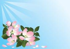 Tarjeta azul con las flores del manzano Foto de archivo libre de regalías