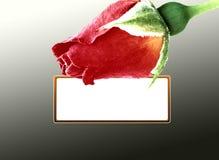 Tarjeta color de rosa del rojo Fotos de archivo libres de regalías