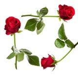 Tarjeta color de rosa del rojo Foto de archivo