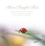 Tarjeta con el ladybug rojo Imágenes de archivo libres de regalías