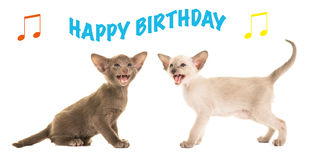 Tarjeta de cumpleaños con los gatos siameses del bebé que cantan feliz cumpleaños Imagenes de archivo