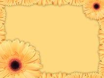 Tarjeta de felicitación con la flor naranja-amarilla de la margarita de Transvaal Imágenes de archivo libres de regalías