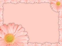 Tarjeta de felicitación con la flor rosada de la margarita de Transvaal Fotografía de archivo