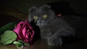 Tarjeta de felicitación con un gato y una rosa metrajes