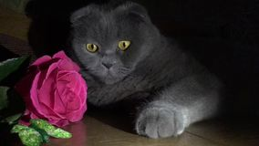Tarjeta de felicitación con un gato y una rosa almacen de video
