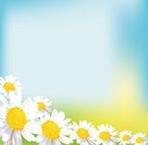 Tarjeta de felicitación del ramo de la flor del campo de la manzanilla Imagen de archivo