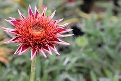 Tarjeta de felicitación exótica de la flor Imagen de archivo libre de regalías