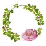 Tarjeta de felicitación hermosa con una guirnalda de las rosas del rosa de la primavera en el fondo blanco Imágenes de archivo libres de regalías