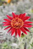 Tarjeta de felicitación roja exótica de la flor Fotos de archivo