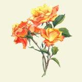 Tarjeta de la acuarela con las rosas amarillas del jardín Imagenes de archivo