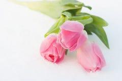 Tarjeta de la primavera con los tulipanes en la nieve Imagen de archivo