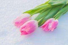 Tarjeta de la primavera con los tulipanes en la nieve Foto de archivo libre de regalías