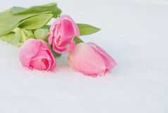 Tarjeta de la primavera con los tulipanes en la nieve Foto de archivo