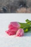 Tarjeta de la primavera con los tulipanes en la nieve Fotos de archivo