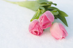 Tarjeta de la primavera con los tulipanes en la nieve Imagenes de archivo