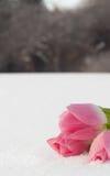 Tarjeta de la primavera con los tulipanes en la nieve Fotografía de archivo