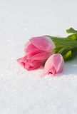 Tarjeta de la primavera con los tulipanes en la nieve Fotos de archivo libres de regalías