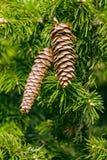 Tarjeta de los conos de abeto Fotografía de archivo