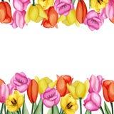 Tarjeta de los tulipanes Foto de archivo