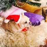 Tarjeta del Año Nuevo con el perro lindo de la chihuahua en el sombrero de Papá Noel que miente en una piel Imagen de archivo libre de regalías
